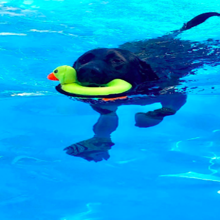 Reviewer's lab swimming with duck floatie toy in mouth