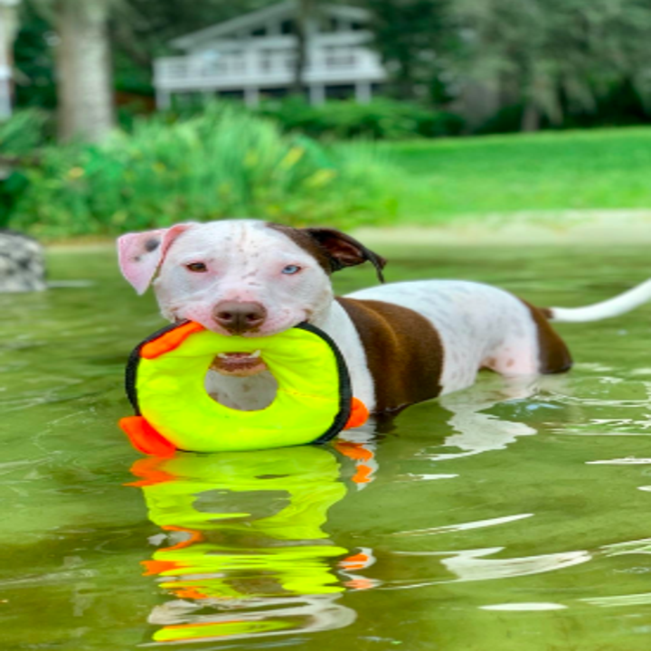 Reviewer's pit bull in lake with toy in mouth