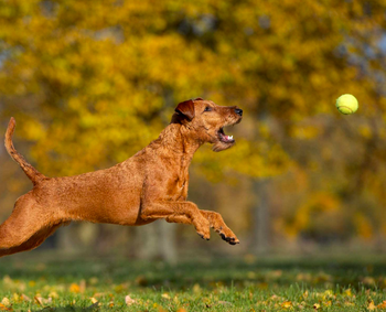 Dog jumping for launched ball
