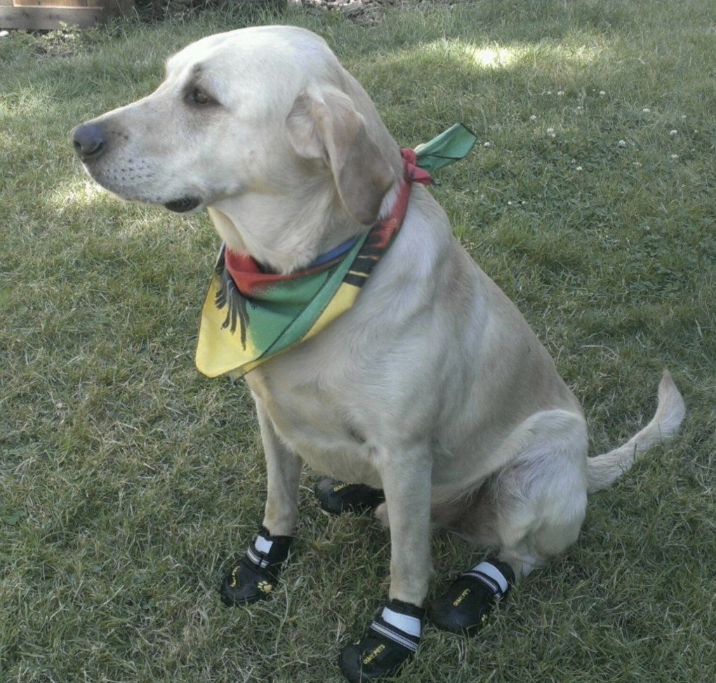 A dog is wearing black dog shoes