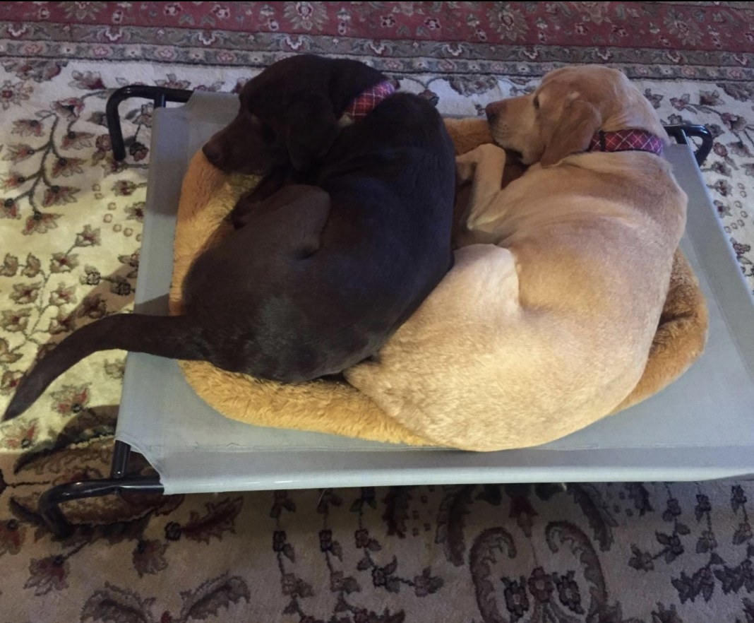Two dogs cuddle on a grey elevated pet bed
