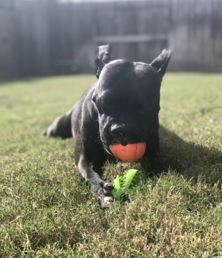 A dog is chewing on an orange ball