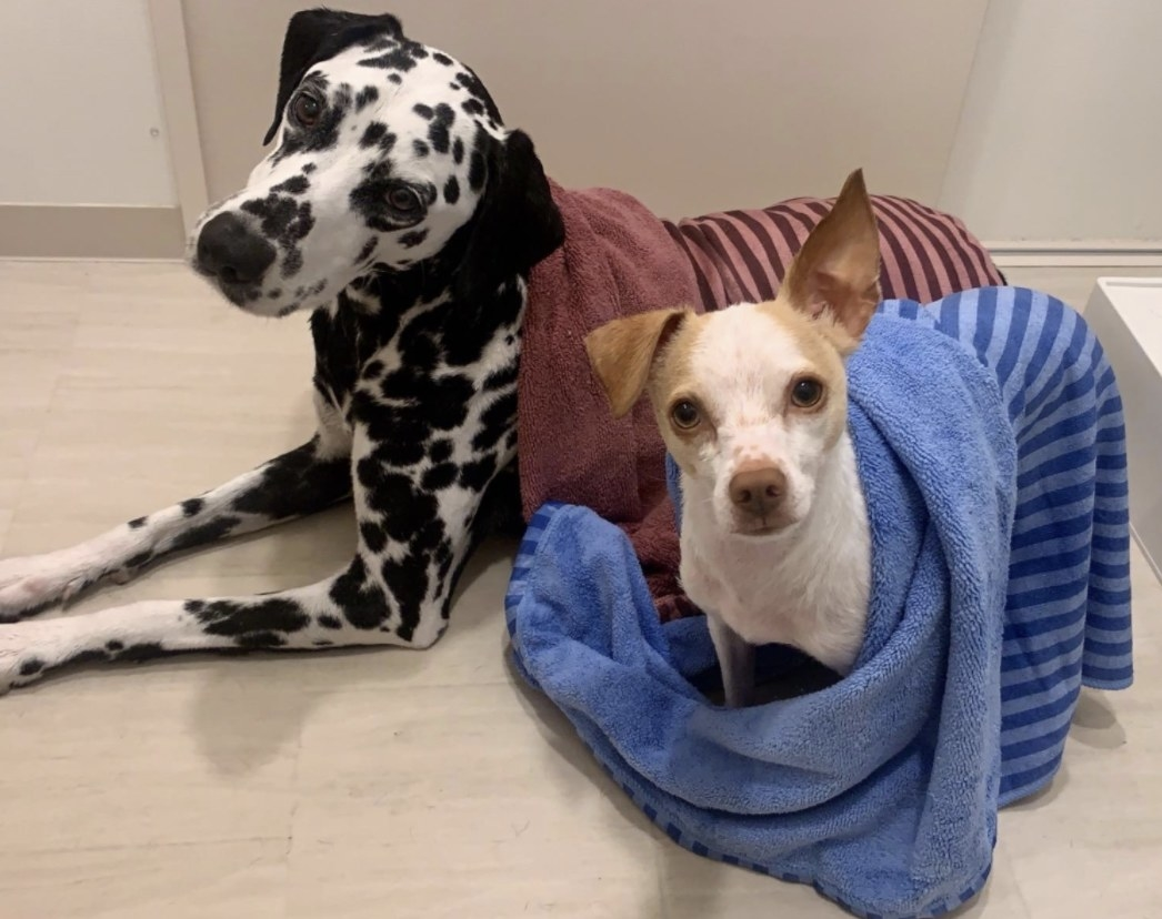 Two dogs sitting in a bathtub with towels on them