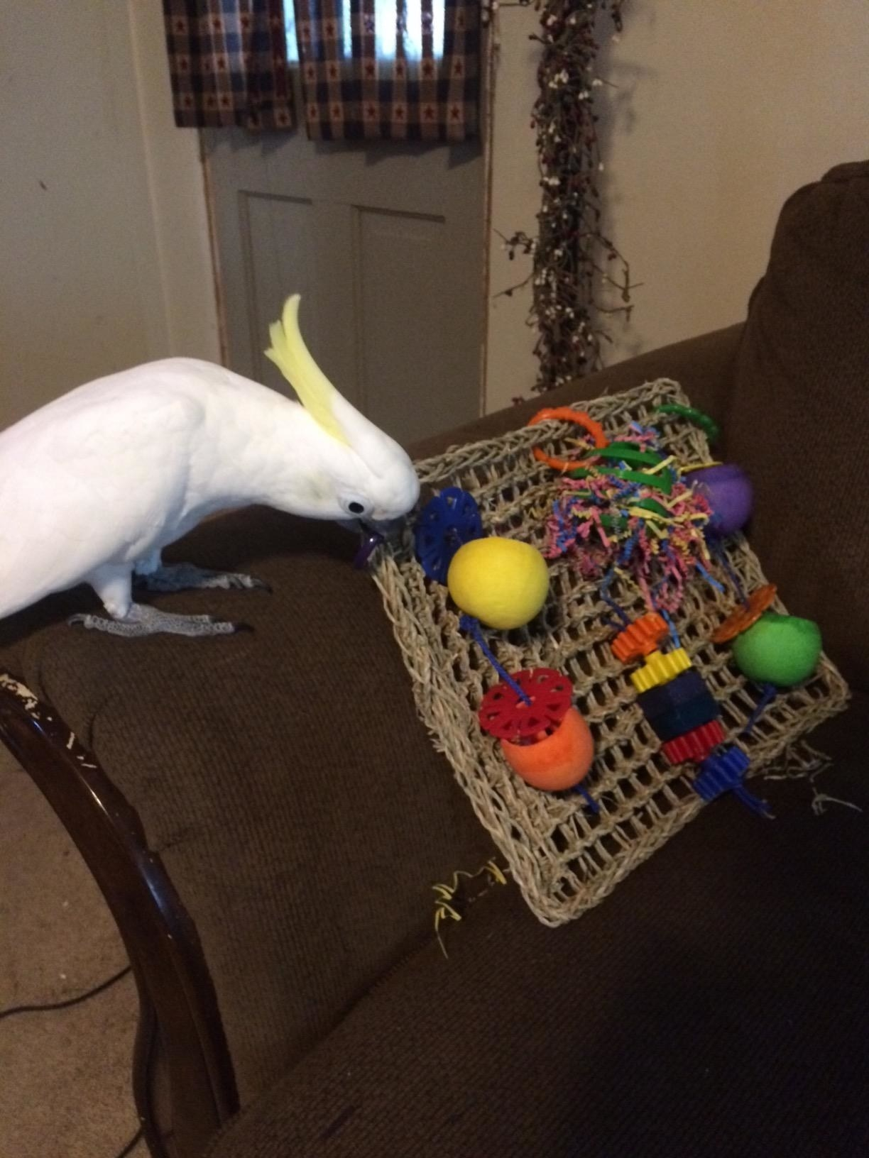 A cockatoo playing with the play mat, which is made of woven sea grass, and has cups, beads, and confetti paper hanging from it