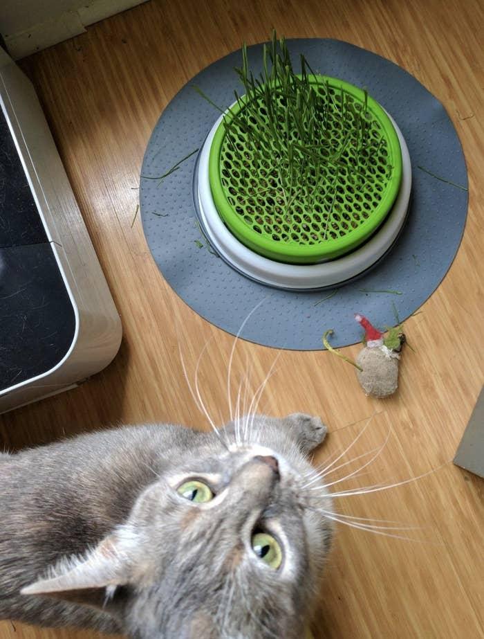 a grey cat standing next to a cat grass planter