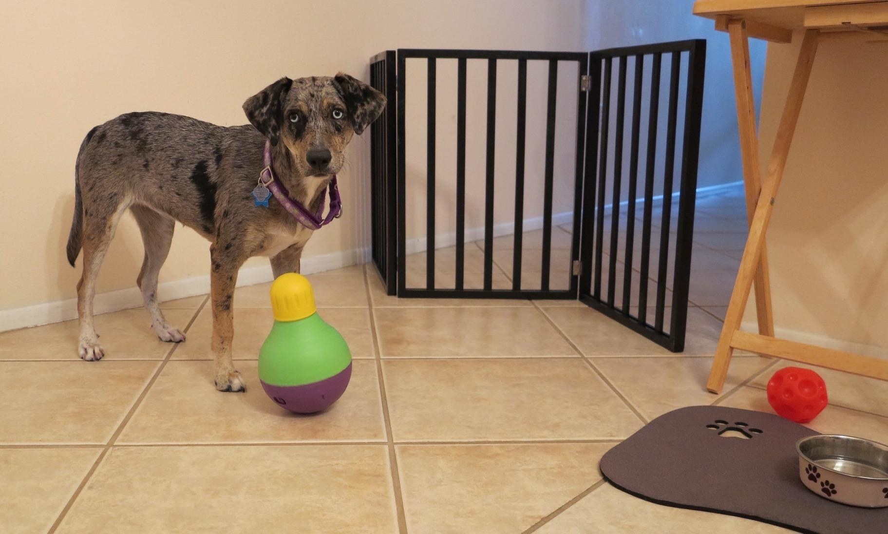 The toy, which is shaped almost like a squat bowling pin, with a rounded bottom, and a narrow top that is removed to insert kibble