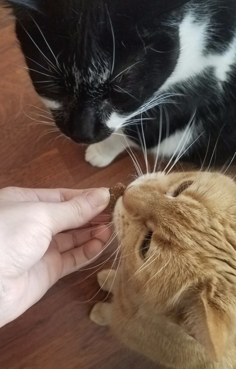 an orange cat and a black and white cat eating a treat from their owners hand