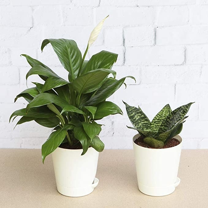 Two plants in white pots.