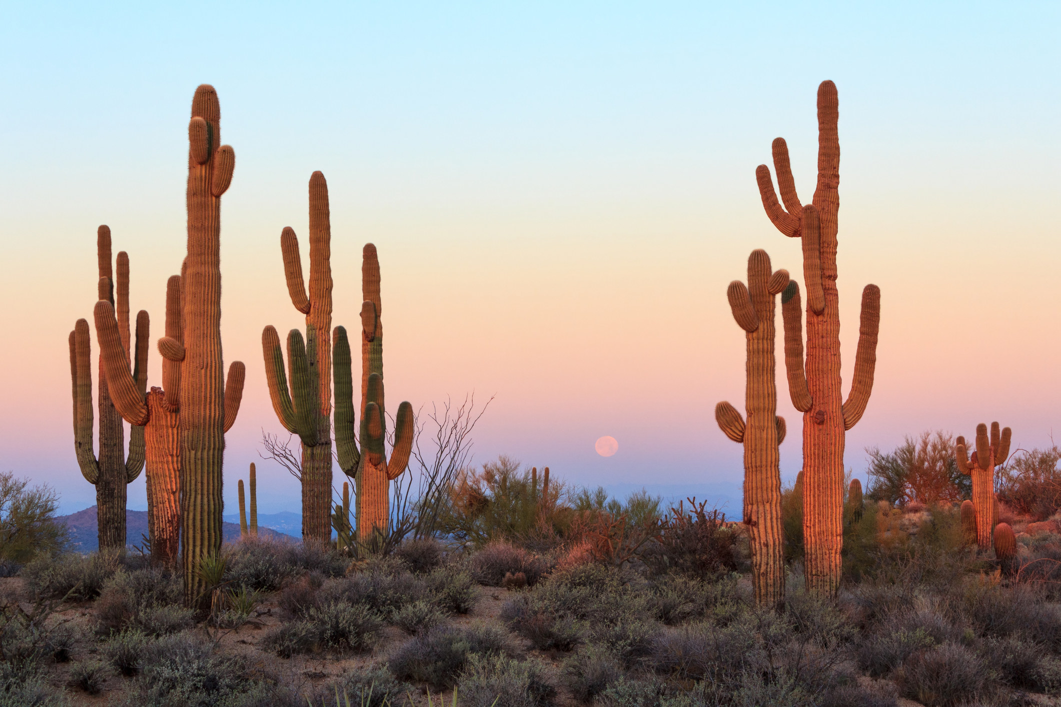 tall cacti in a scrubby desert field at sunset