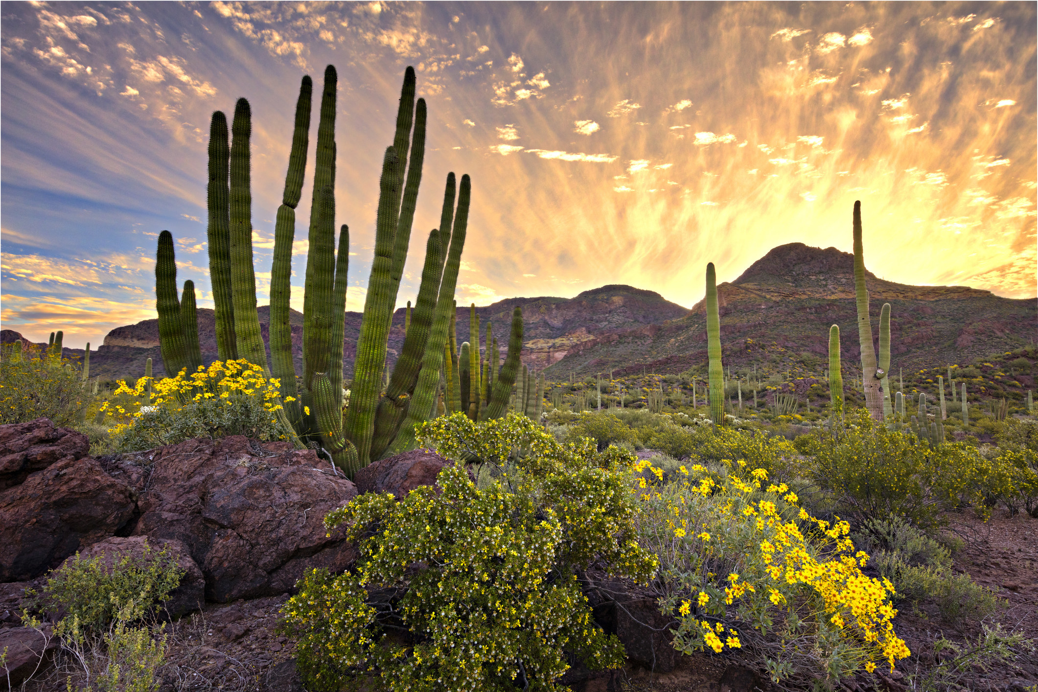 a huge cactus with multiple arms shooting straight up surrounded by wildflowers in the desert