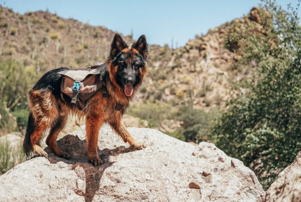 German shepherd wears backpack on a hike