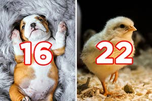 """On the left, a bulldog puppy lying on its back on a fluffy blanket labeled """"16,"""" and on the right, a little chick in a barn labeled """"22"""""""