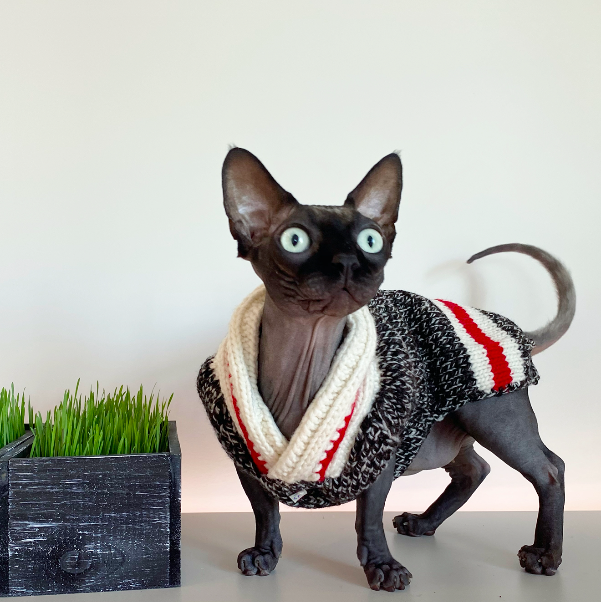 Hairless cat in preppy knit, legless sweater.
