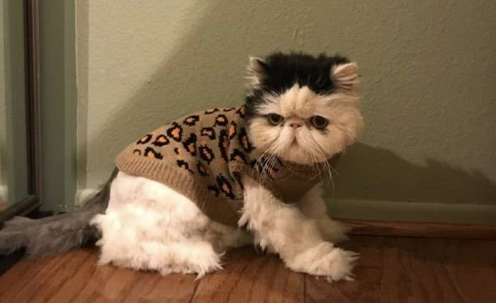 Cat wears leopard print sweater