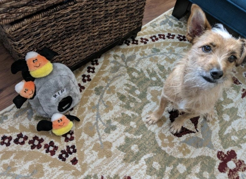 Dog poses with plush candy corn bats hide and seek toy