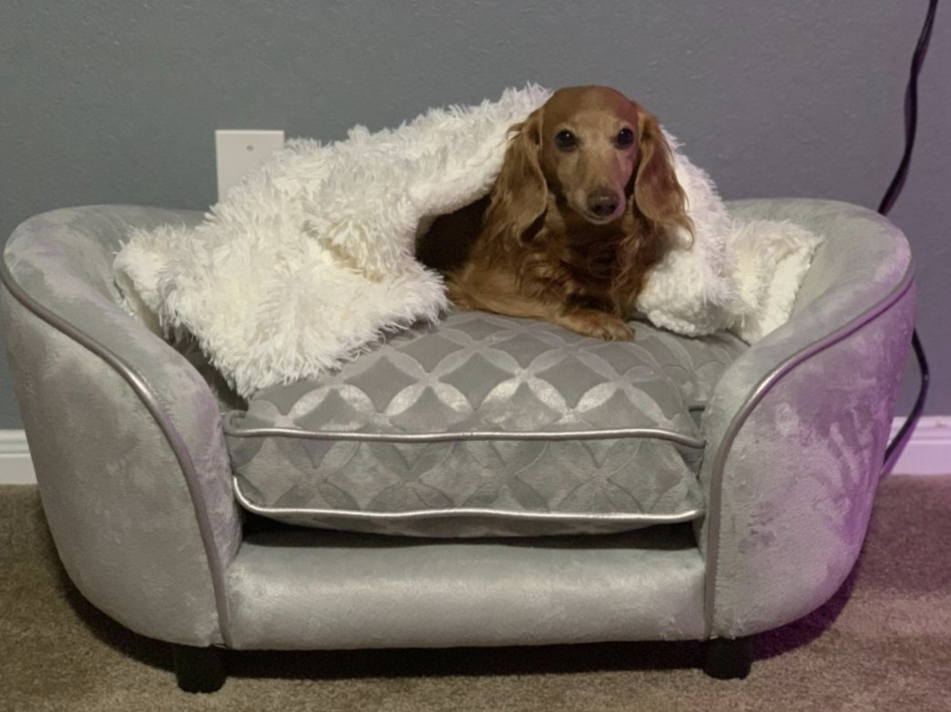 Daschund dog wrapped in sherpa blanket in bed