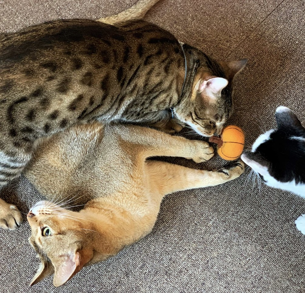 Cats play with pumpkin wool cat toy
