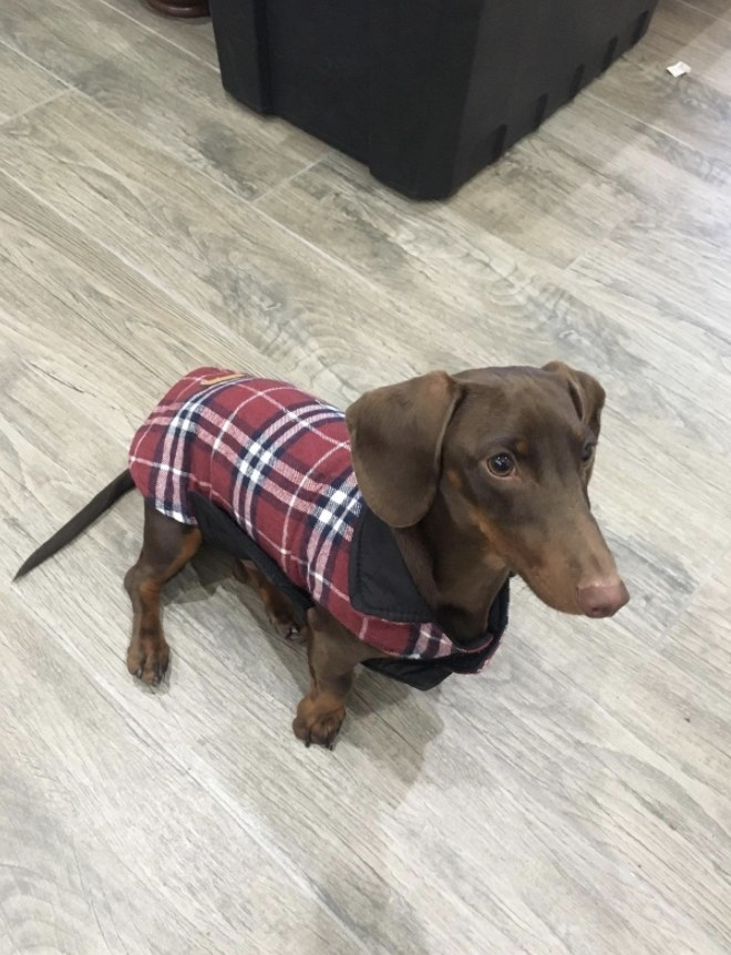 Dachshund wears vest in red
