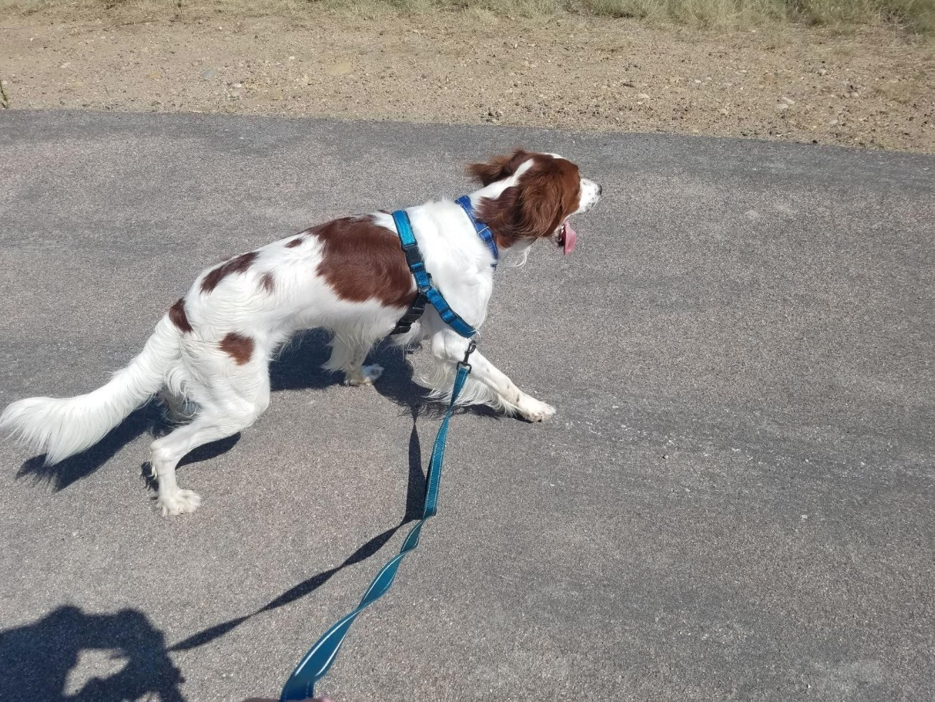 The reviewer's dog using the ocean colored harness