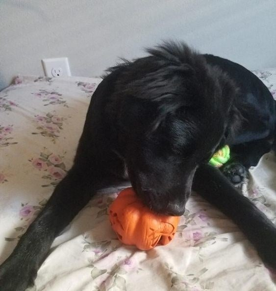 Dog chewing on the pumpkin chew toy