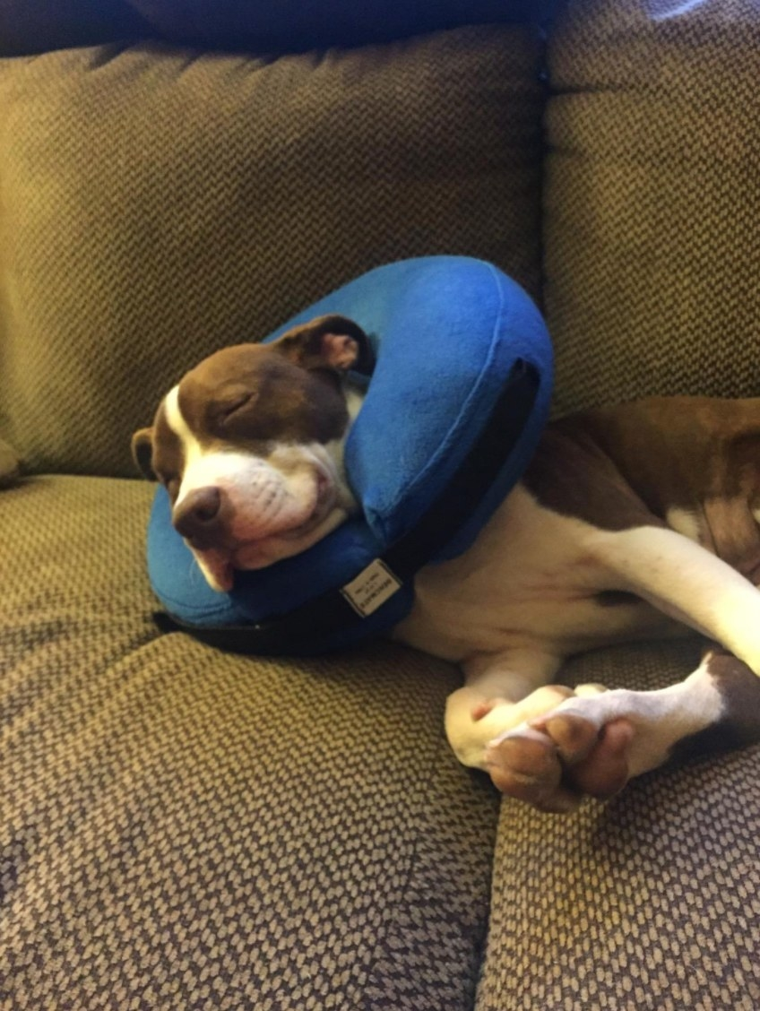 The reviewer's dog in the blue inflatable cone
