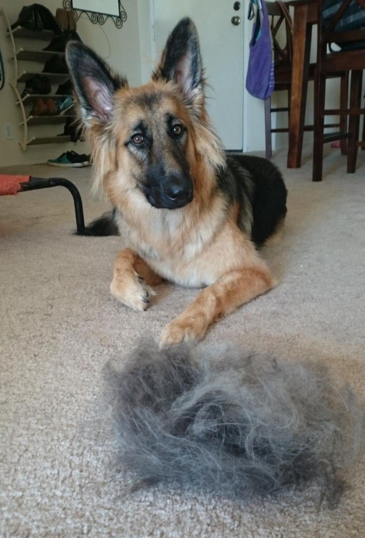 The reviewer's dog with a mound of hair that was removed by the grooming gloves