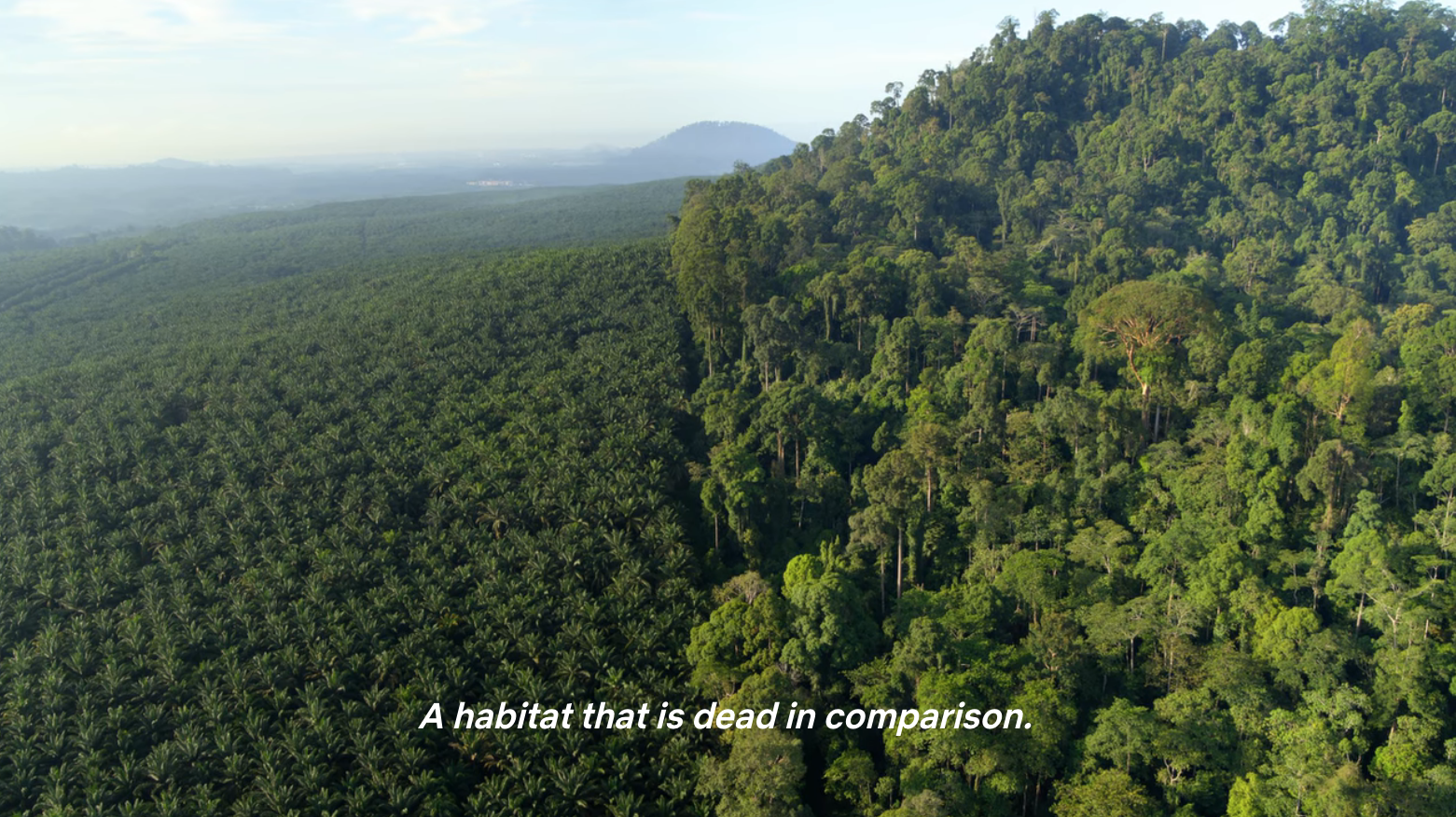 """Aerial footage of lush rainforest in Borneo next to oil palm crops, with caption: """"A habitat that is dead in comparison."""""""