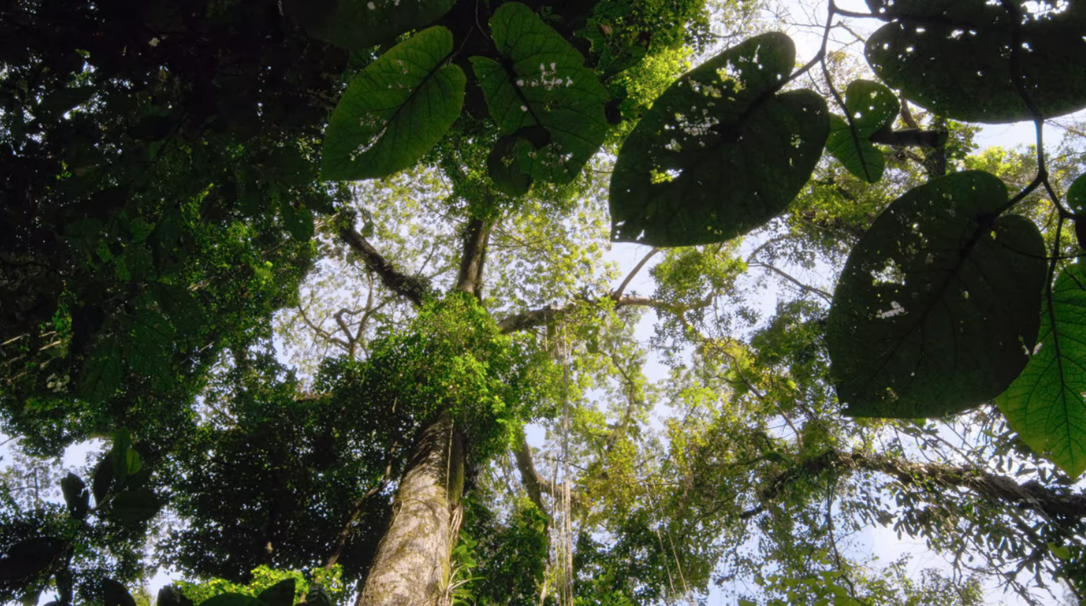 A view of treetops in the rainforest, looking up from the ground.