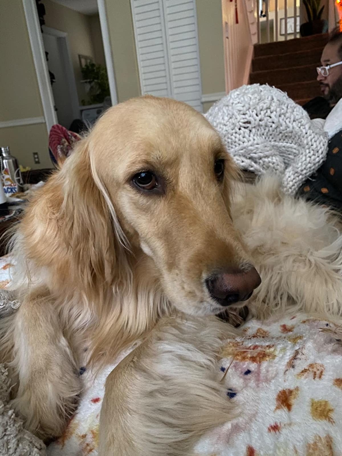 Reviewer photo of their golden retriever looking brushed and smooth