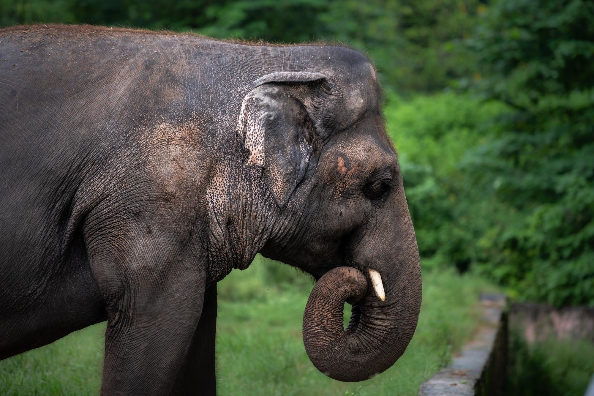 Image of Kaavan the elephant at Marghazar Zoo in Islamabad, Pakistan.
