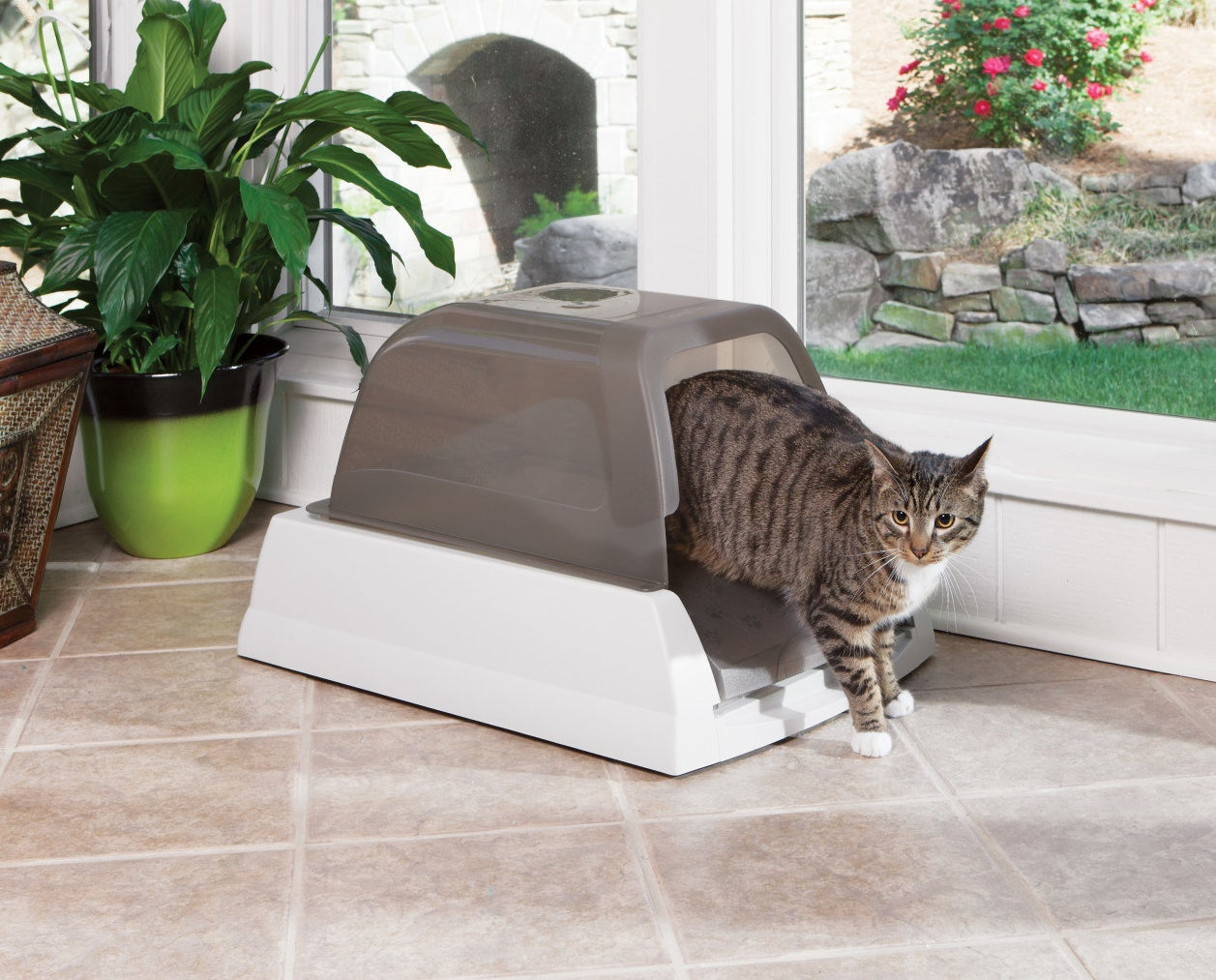 cat coming out of a no scoop litter box