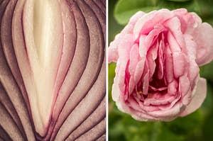 把洋葱和玫瑰放在一起,它们看起来都像阴道