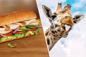 A giraffe sticking its tongue out at a Subway sandwich