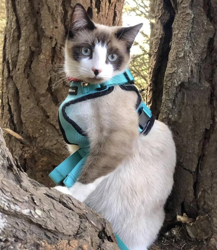 a cat wearing a blue harness and leash sitting on a tree
