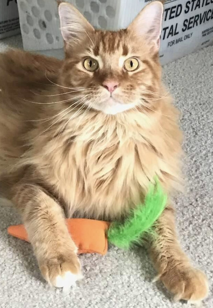 an orange cat holding a soft carrot-shaped catnip toy