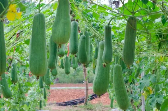 Neon green lofah gourds hanging in rows