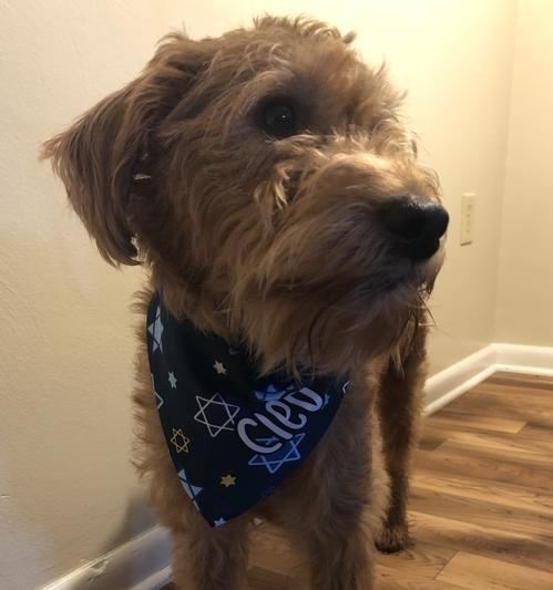"Brown dog wears colorful Hanukkah bandana that says ""Cleo"""