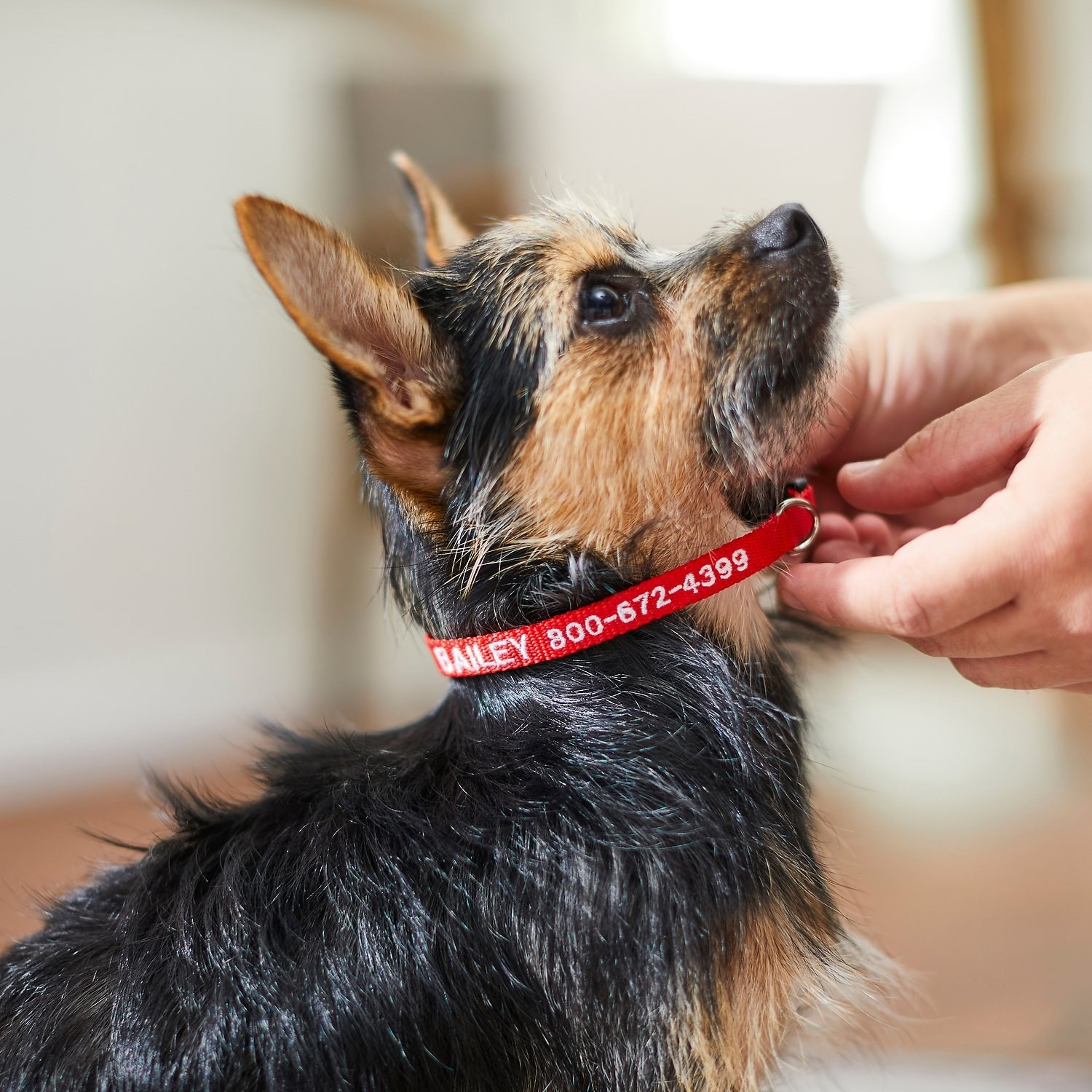 "Red collar that says ""Bailey"" with a number on a dog's neck"
