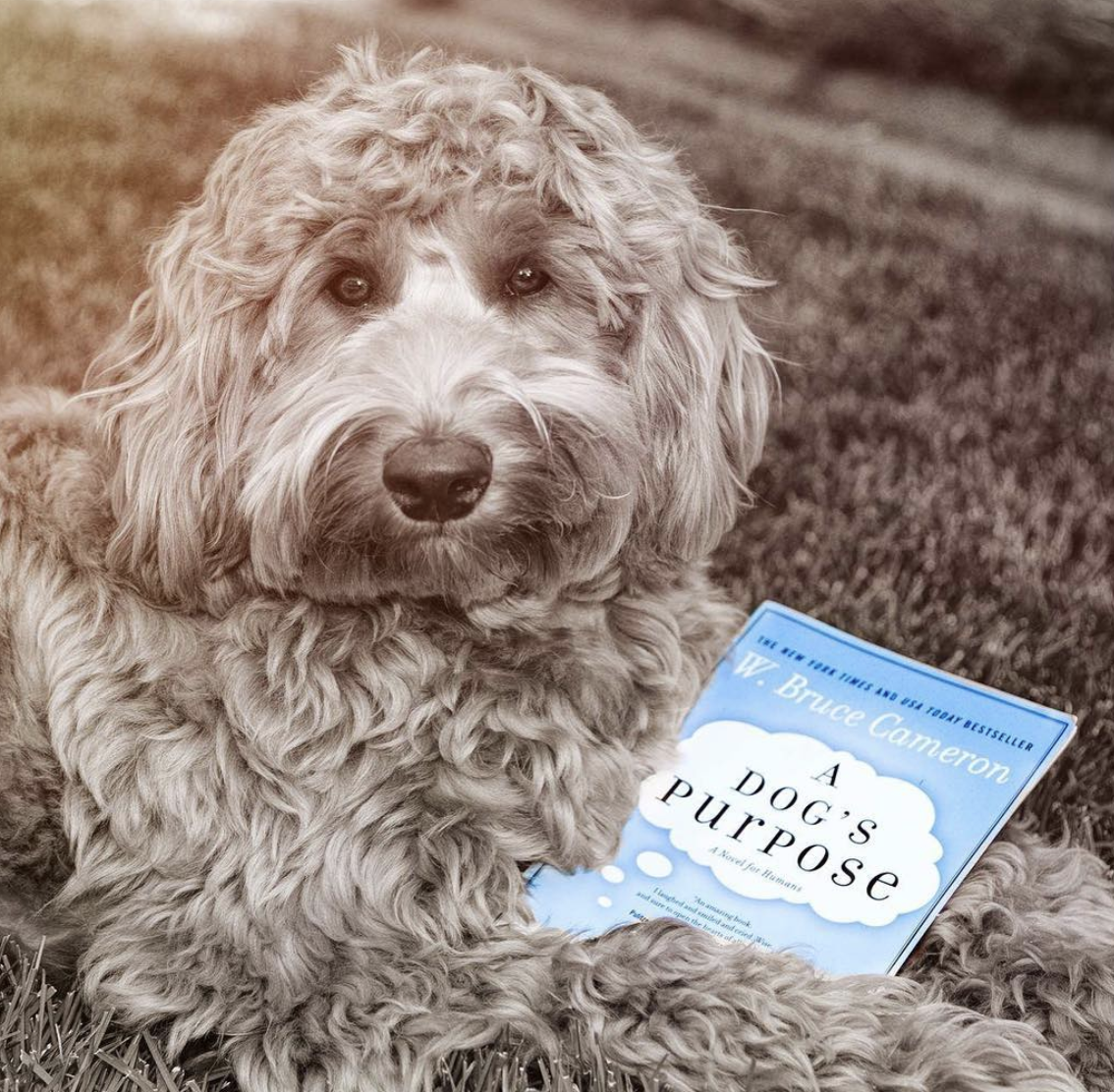 A dog laying in a field of grass holding a copy of A Dog's Purpose