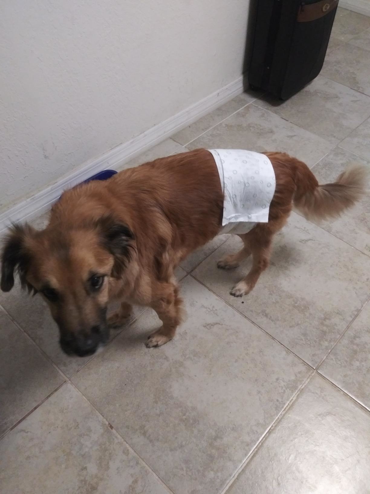 A dog wearing the wraps, which cover the belly area but leave the backside free and open