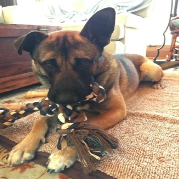 german shepherd with a brown rope toy in its mouth