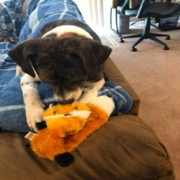 dog playing with orange fox plush toy