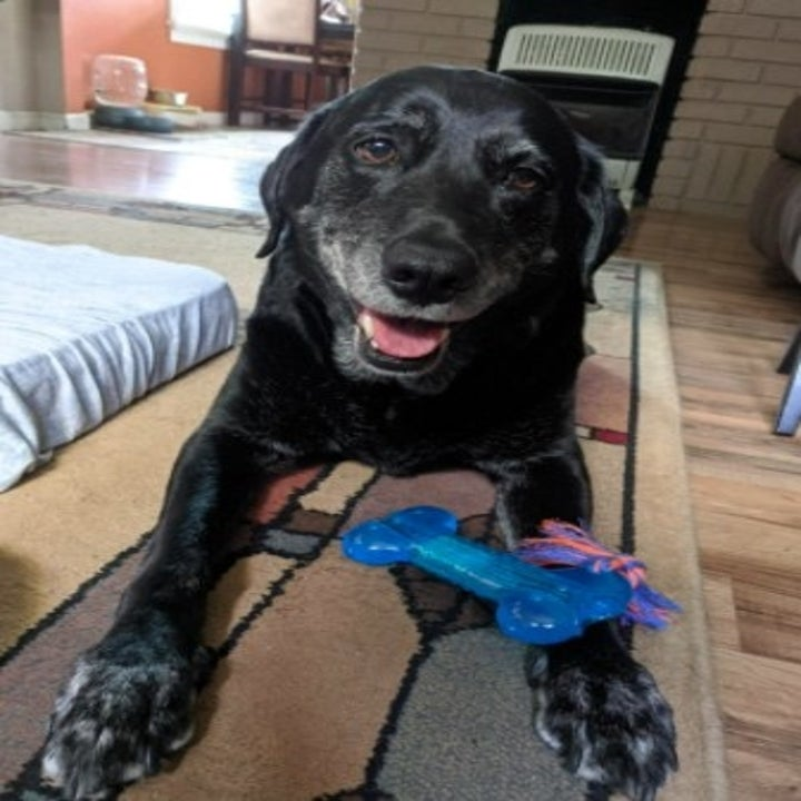 black dog smiling at the camera with blue chew toy on its paw