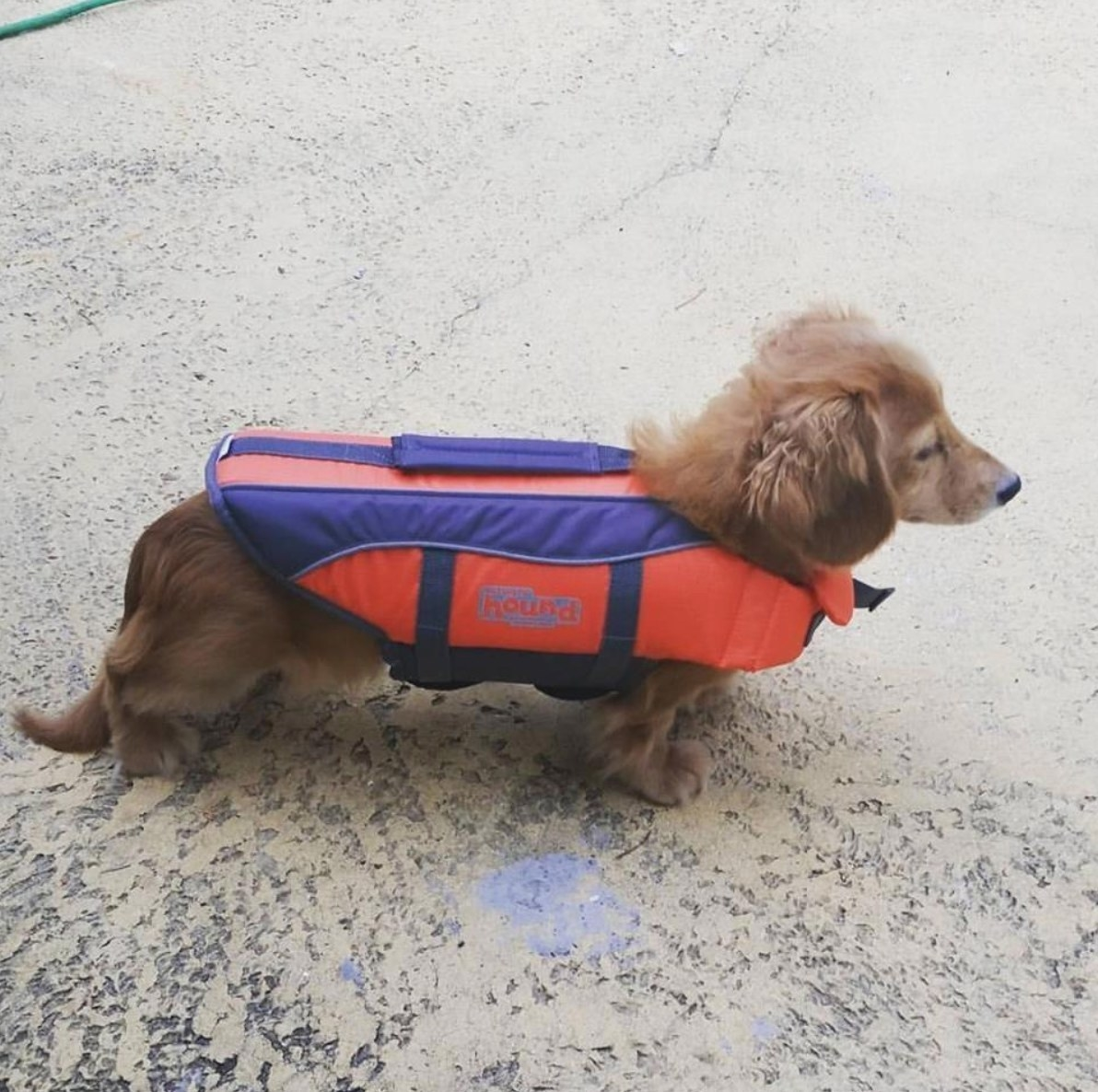 The dog life vest in red and blue