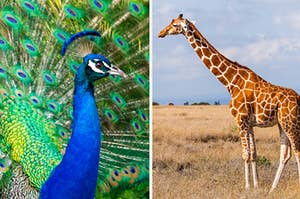 Side-by-side images of a peacock and a giraffe