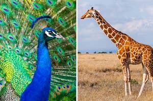 一个孔雀和一只长颈鹿并排的图片