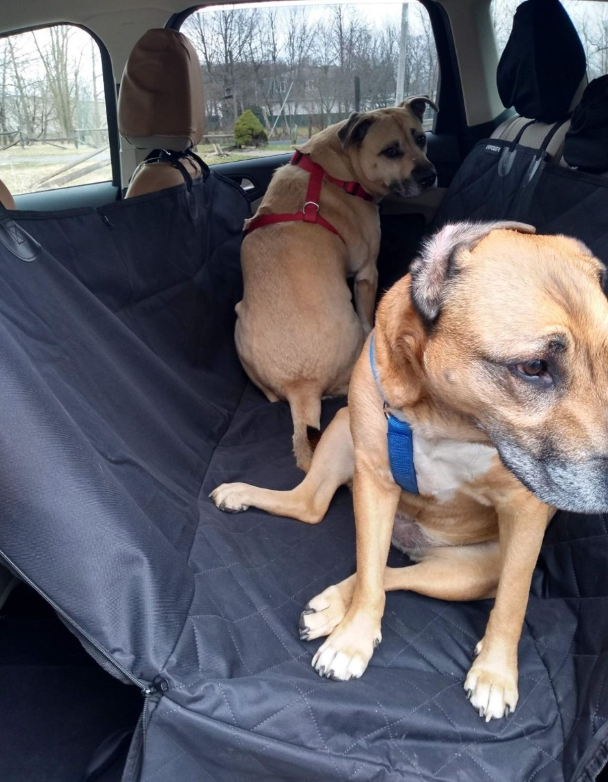 Reviewer photo of two dogs sitting on the seat cover