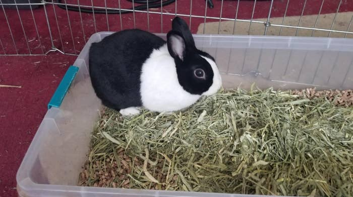 A rabbit nibbling at the hay bale