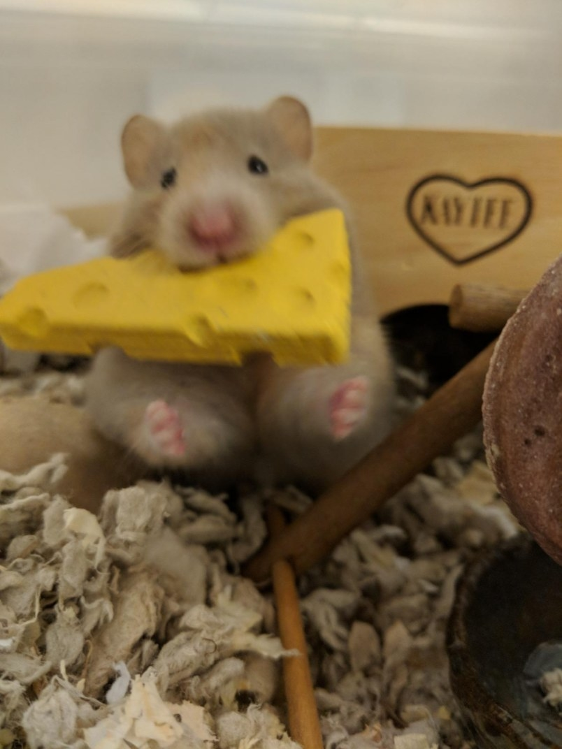 A hamster enjoying a mouth full of cheesie chew in its cage