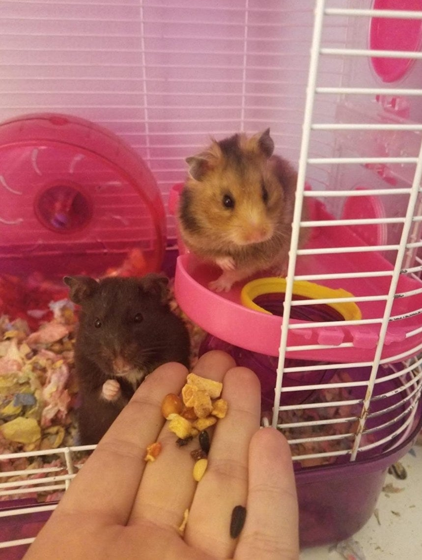 Two hamsters being fed the hamster food from their cage